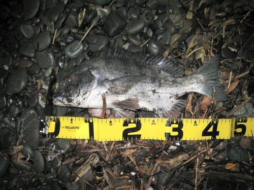黒鯛45cm